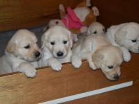 17_pups-horen-zien-en-lopen-met-3-weken