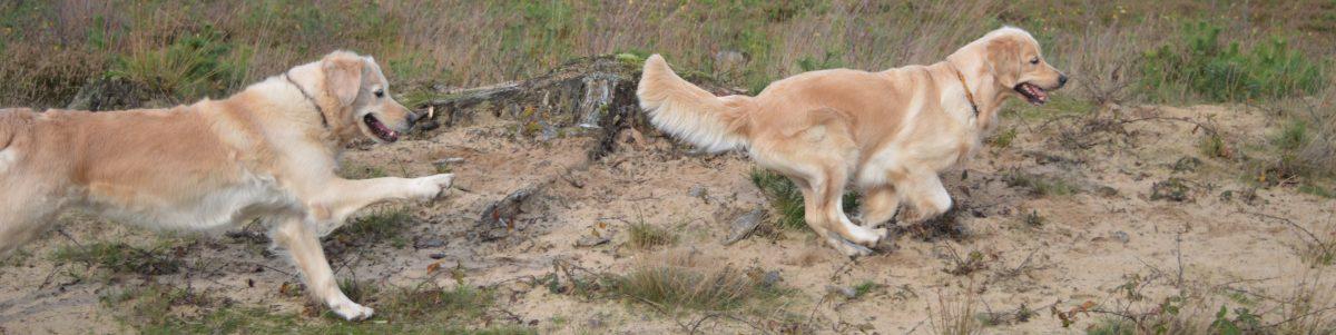 Golden Retriever Kennel Chairoezan's